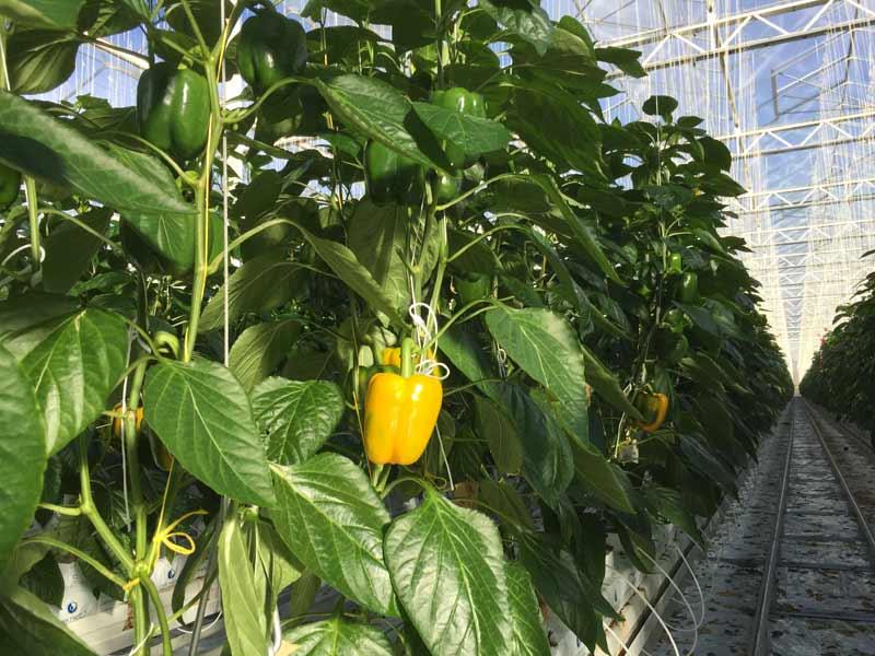 Die ersten Paprikas werden geerntet bei Gemüsebau Steiner
