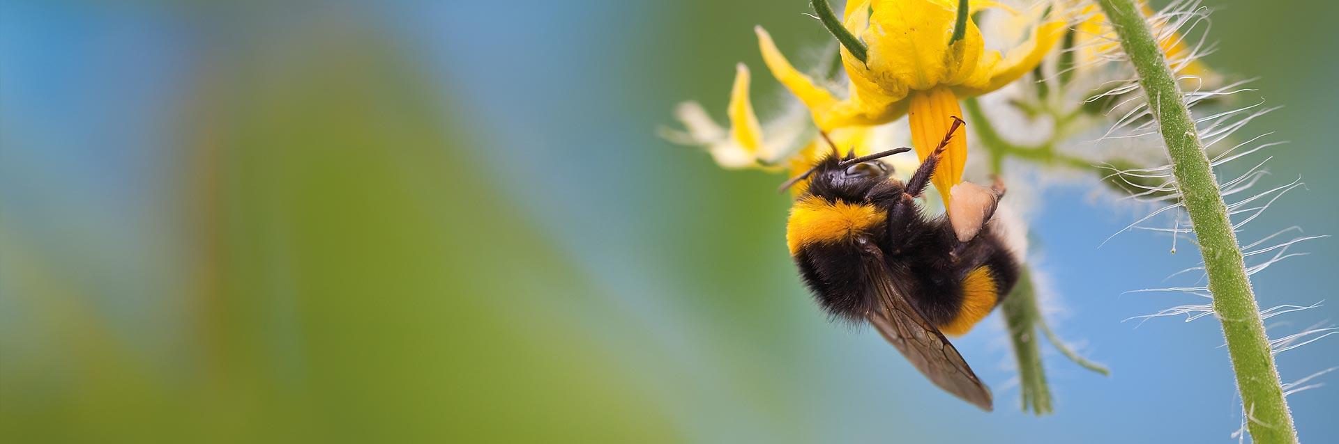 Gemüsebau Steiner: Bestäubung durch Hummeln und Schädlingsbekämpfung mit Nützlingen