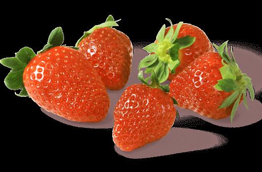 Gemüsebau Steiner setzt Nützlinge wie Schlupfwespen und Raubmilben zur Schädlingsbekämpfung bei Erdbeeren ein.