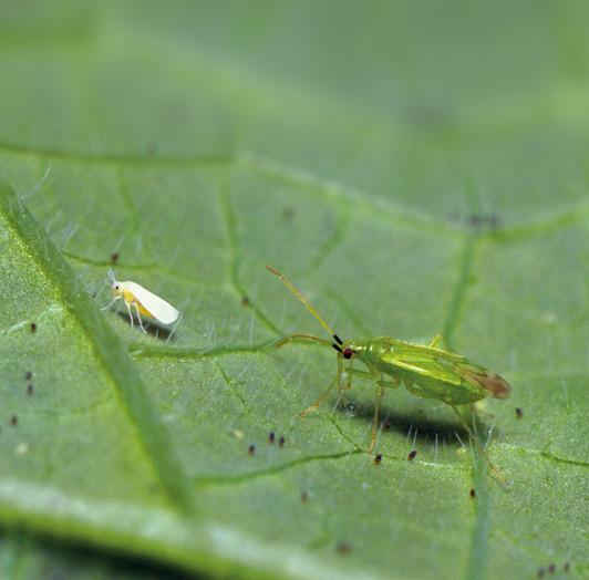 Bei Gemüsebau Steiner werden Nützlinge effektiv zur Schädlingsbekämpfung eingesetzt.