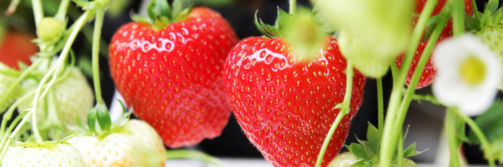 Erdbeeren von Gemüsebau Steiner - aus der Region für die Region