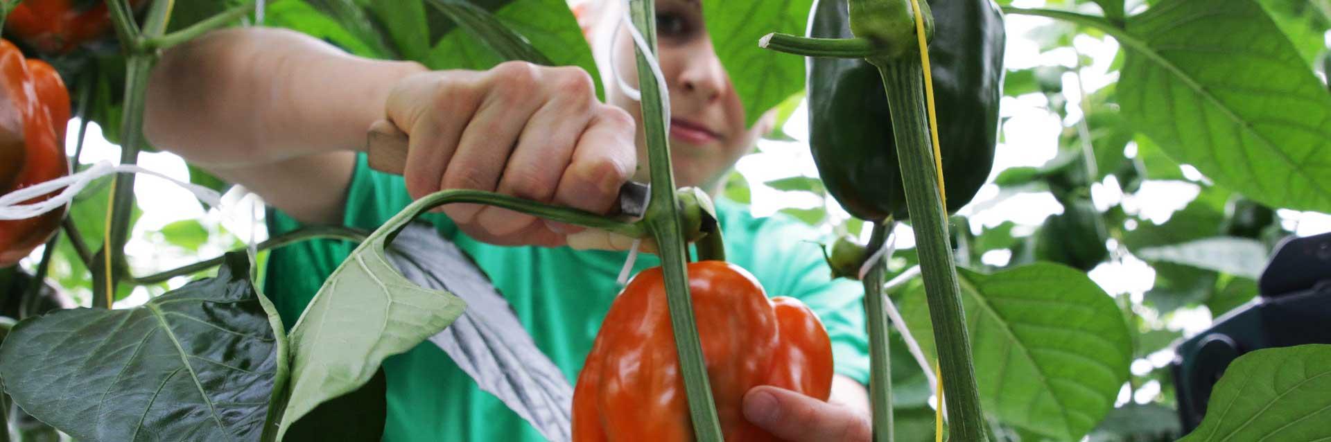 Gemüsebau Steiner - Nur vollreife Früchte von Hand geerntet