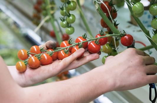 Nur vollreife Früchte werden bei Gemüsebau Steiner geerntet - von Hand.
